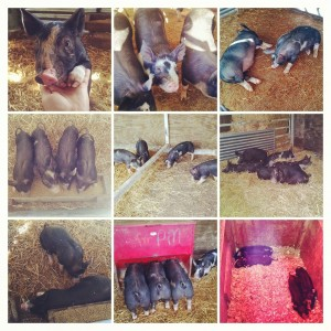 The pigs in their home at the University Farm.